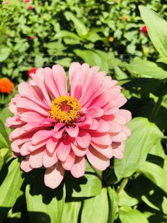 ピンクのダリアの写真・画像素材[1397933]