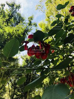 アメリカデイゴの花の写真・画像素材[1397945]