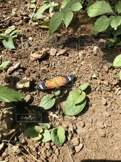 地面で休む蝶の写真・画像素材[1397953]