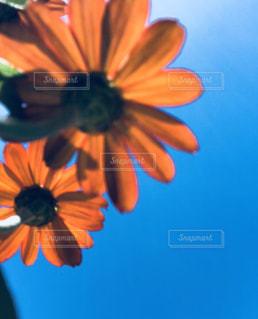 オレンジの花と青空の写真・画像素材[1412733]
