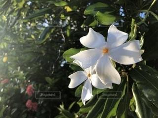 グアムでみつけた白い花の写真・画像素材[1710045]