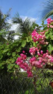 グアム島みつけたピンクの花の写真・画像素材[1727108]