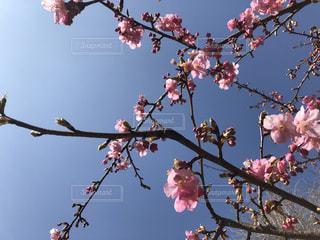 桜の写真・画像素材[1800300]