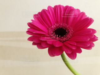 ピンクのガーベラの写真・画像素材[1814169]