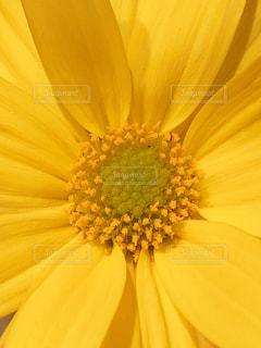 黄色の花の写真・画像素材[1826617]