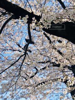 桜の木にとまるハトの写真・画像素材[1910730]
