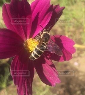 コスモスと蜂の写真・画像素材[2706300]