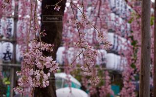 桜の写真・画像素材[1510696]