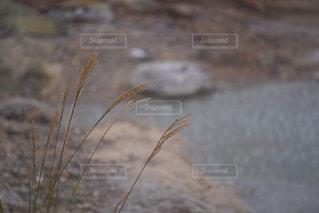 すすきの写真・画像素材[1510714]