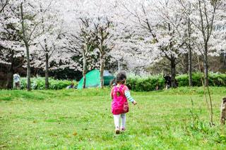 芝生を走る女の子と満開の桜の写真・画像素材[1211196]
