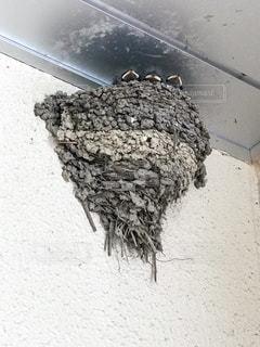 巣で餌を待つ燕の雛の写真・画像素材[1262486]
