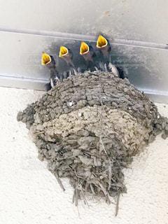 ツバメの巣の写真・画像素材[1266079]