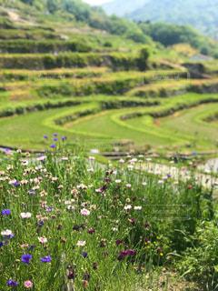 小豆島 中山千枚田と野の花の写真・画像素材[2141150]