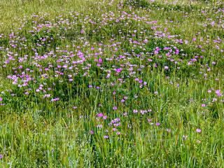 れんげ畑の写真・画像素材[2141172]