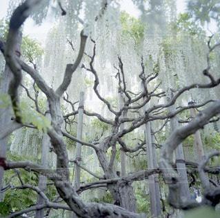 藤の木の写真・画像素材[12715]