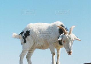 ヤギの上に立っている白い牛の写真・画像素材[1181531]