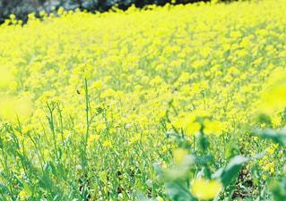 フィールド内の黄色の花の写真・画像素材[1181532]