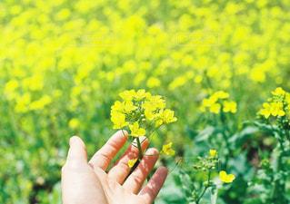 黄色い花を持っている手の写真・画像素材[1181533]