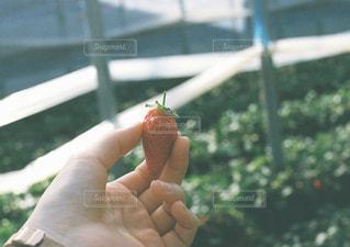 果物を持っている手の写真・画像素材[1181535]