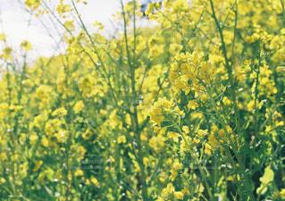 フィールド内の黄色の花の写真・画像素材[1882114]