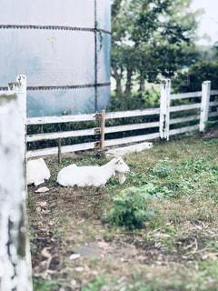 木製のフェンスの上に立っている羊の写真・画像素材[2785401]