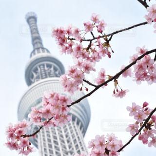 スカイツリーと桜の写真・画像素材[1198005]