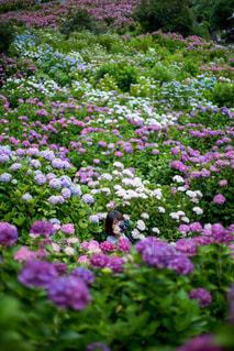 紫陽花からひょっこりの写真・画像素材[1237263]