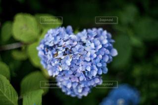 ハートの紫陽花の写真・画像素材[1241354]