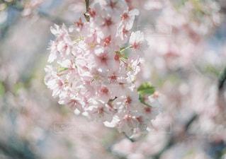 春の香りの写真・画像素材[1263247]