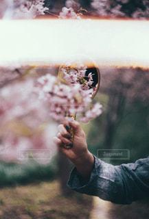 桜の写真・画像素材[1832151]
