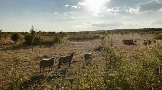 羊達のお散歩の写真・画像素材[1349510]