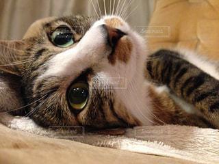 横になって、カメラを見ている猫の写真・画像素材[1198953]