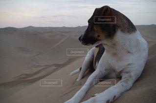 たそがれる犬の写真・画像素材[1222247]