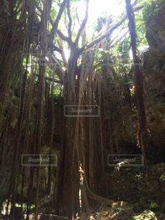神秘的な樹木の写真・画像素材[1199505]