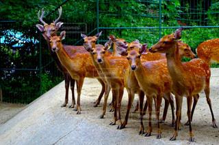 鹿の群れの写真・画像素材[1199619]