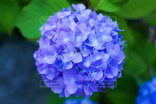 紫陽花の写真・画像素材[1214673]