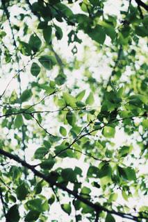 新緑。の写真・画像素材[1200130]