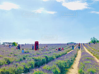 ラベンダー畑の写真・画像素材[4316272]
