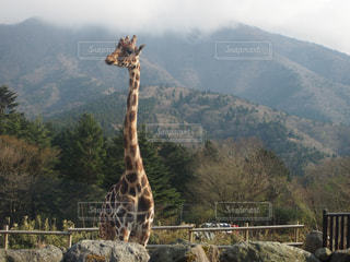 キリン山の上に立ってのカップルの写真・画像素材[1200916]