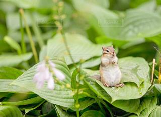 葉に座るリスの写真・画像素材[3249301]