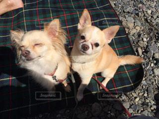 地面に横たわっている小さな茶色と白犬の写真・画像素材[1201427]