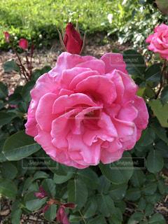 薔薇のアップの写真・画像素材[1202000]