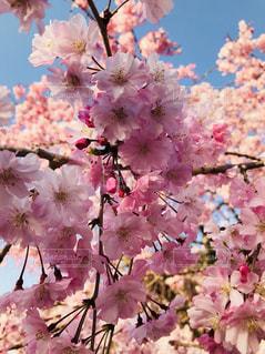 桜のアップの写真・画像素材[1202001]
