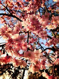 桜の写真・画像素材[1202002]