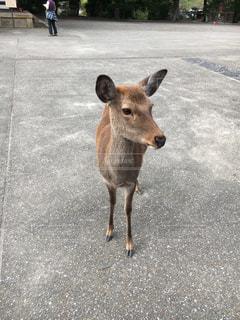 鹿の写真・画像素材[1202045]