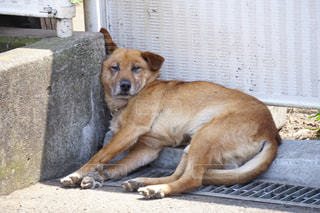暑いし眠い犬の写真・画像素材[1222833]