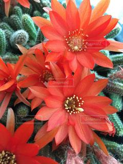 サボテンの花の写真・画像素材[1202419]