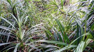 父島  初寝山 タコヅルの生い茂る森の写真・画像素材[1209125]