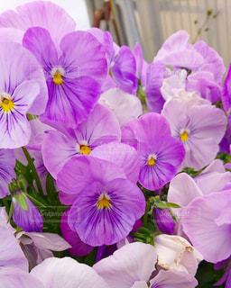 紫色の花一杯の花瓶の写真・画像素材[1210311]