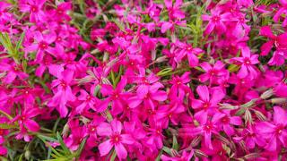 満開の芝桜の写真・画像素材[1211358]